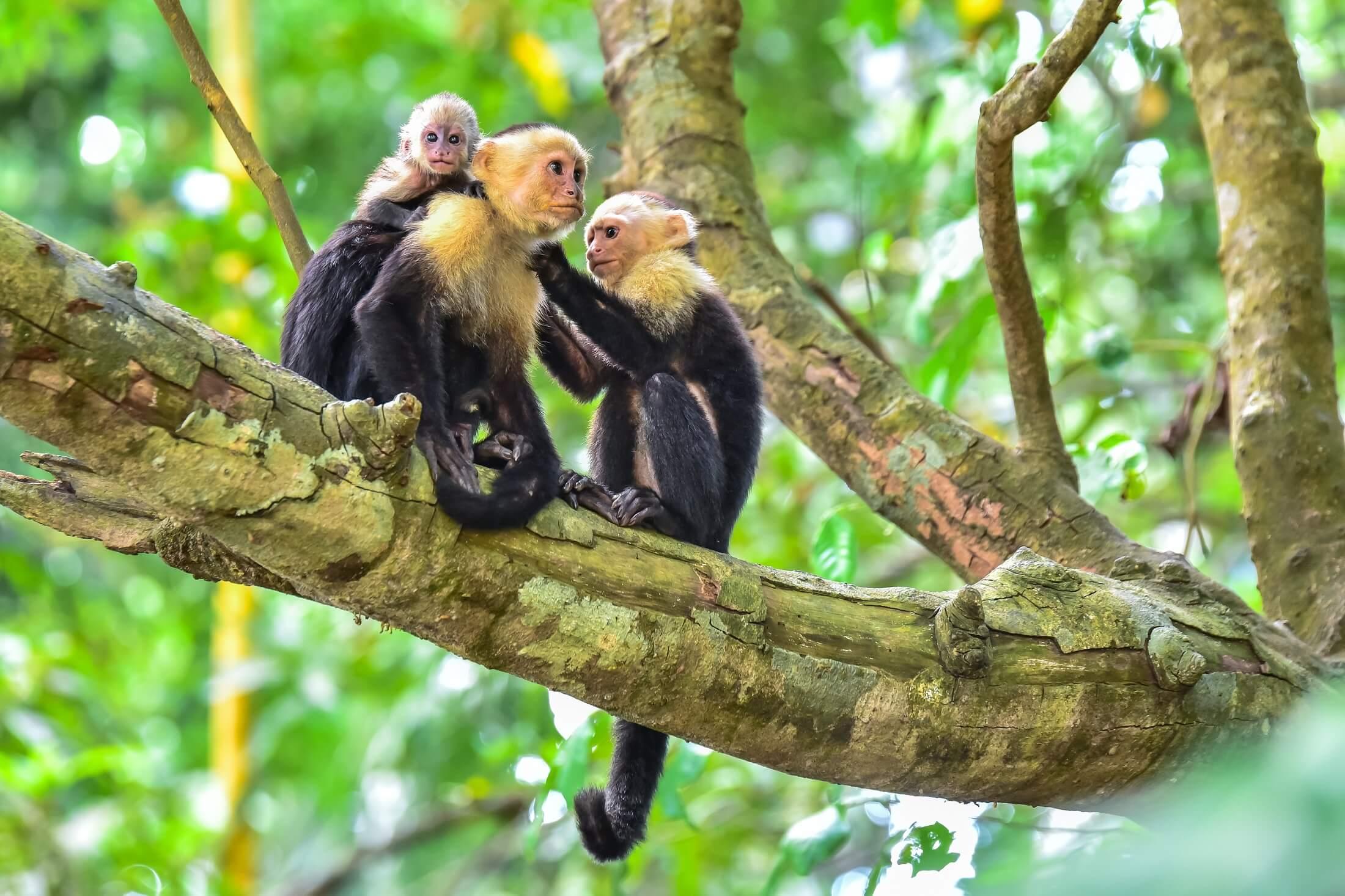 Capuchin Monkeys at Manuel Antonio National Park